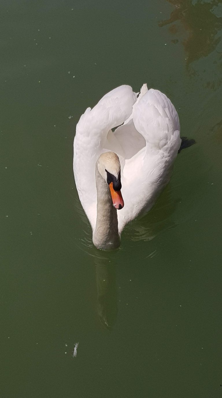 swan in lake bled - Five reasons why Slovenia